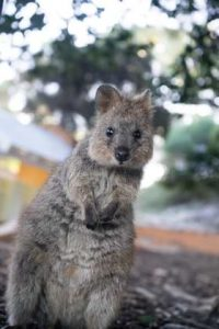 Curious Quokka on its hind legs