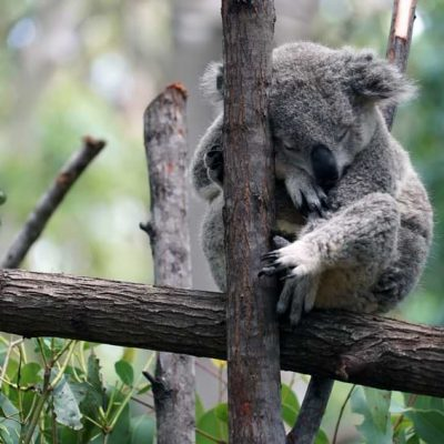 Koala sleeping on an eucalyptus tree branch in Melbourne Zoo